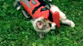 Aussie puppy refuses to walk in protective vest