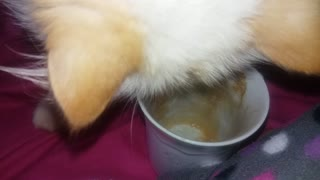 Most funny cat ever - persian cat drinking coffee