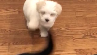 Small white puppy tries to bite the tail of large black dog  - Video