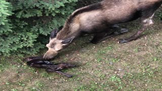 Mama Moose Gives Birth to Two Babies