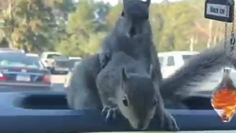 Squirrels playing in car