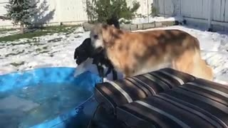 Dogs play with slabs of ice from kiddie pool