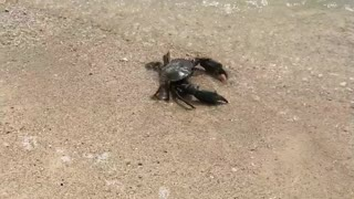 Returning a Lost Crab to the Ocean - Video
