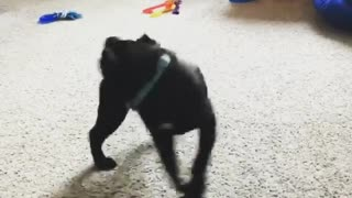 Pug obsessed with chasing his tail
