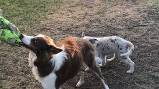 Puppy pulls on dog's tail while it plays tug-of-war