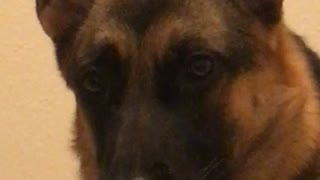 Sassy dog responds with a wink and tongue blep  - Video