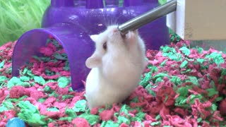 Thirsty Hamster - Video