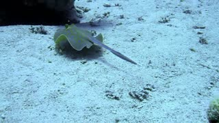 Blue spotted stingray - Video