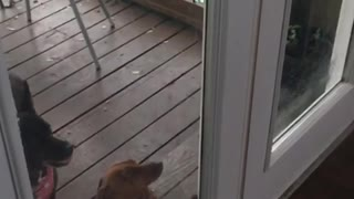 Dog jumping in slow motion against door - Video