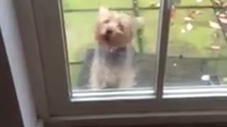 Yorkshire Terrier Behind Glass - Video