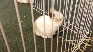 Cute Chinchilla bunny playing in pen - Video