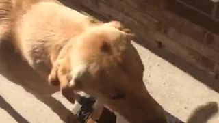 Golden retriever helps carry groceries  - Video