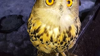This Owl Really Likes The Feather On Its Face - Video
