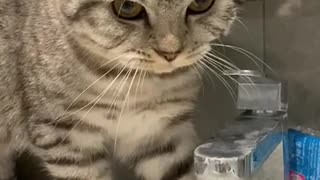 Cat Bamboozled by Sink Water