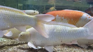 A closer look video of Freshwater fish