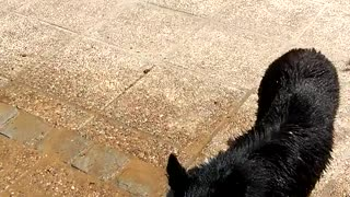 Dog getting showered doesn't like water - Video