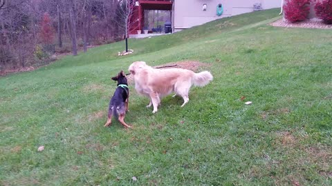 German Shepherd Puppy Chases Down Golden Retriever and Chews on His Branch