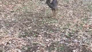 Rescued deer learning how to get around on her hurt front leg.