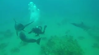 Dolphins swimming in the Red Sea, Eilat Israel 2