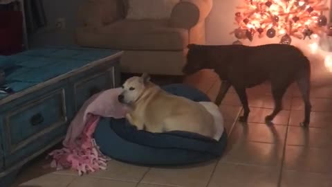 Needy Dog Barks At Canine Sister For Attention