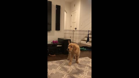 Golden retriever puppy tries to steal socks and talks back to dad