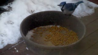 Blue jay eats cat food like a woodpecker - Video