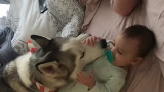 Husky babysitter makes baby giggle - Video