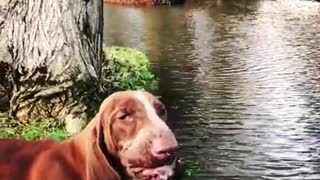 Brown hound dog drinks water from river - Video