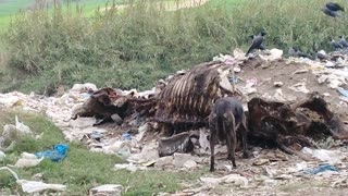 The dog and the birds eating lunch of horse meat  - Video