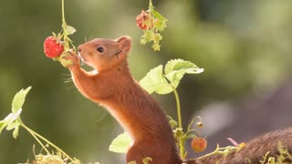 Squirrels the strawberry farmers - Video