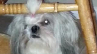 Fluffy white dog with hair tied sitting under wooden chair - Video