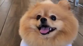 Pomeranian shows off his adorable Halloween costume