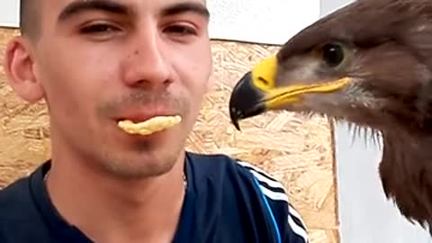 Eagle Nibbles On A Crunchy Treat From Its Owner's Mouth