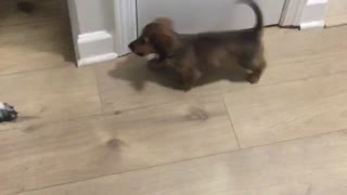 Brown puppy barking at bigger black dog  - Video