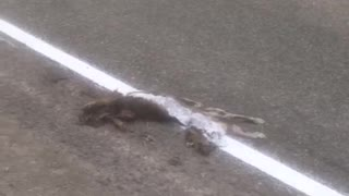 White Road Line Painted Over Deceased Cat - Video