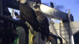 Eagles Surround Fishing Trawler for a Feed