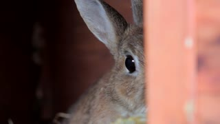 Adorable Brown Rabbit Hiding From Owner In Farm