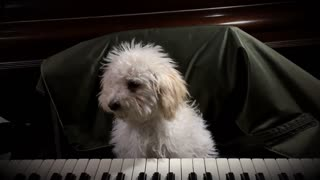 Talented small fury puppy playing piano 🎹