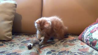 The ginger kitten is playing.