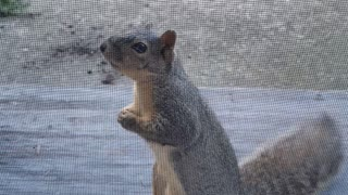 Polite Squirrel Waits for Its Morning Peanut