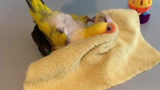 Caique parrot adorably plays with piece of cloth