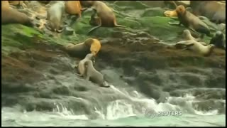 Sea lions released into Peruvian waters - Video