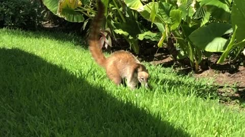 Coati steals fries from poolside vacationer