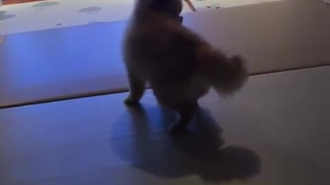 Crazy Pomeranian can't stop spinning in circles
