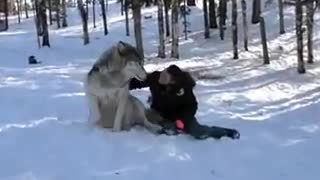 GIANT Wolf Plops Down Beside Her, But Watch What Happens Whe - Video