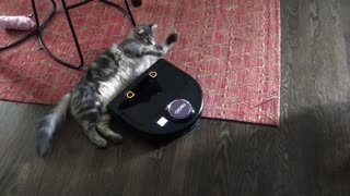 Smart Cat Treats Robot Vacuum Cleaner As A Personal Slave
