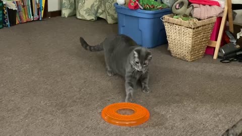 Puma is scared of big brother's frisbee