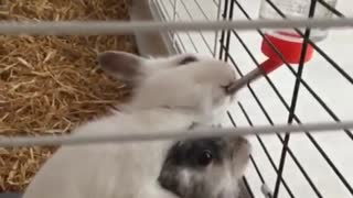 Rabbit Drinks Water in The Cage
