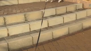Collab copyright protection - white dog faceplants on steps  - Video