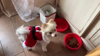 Talking Pomeranian Says Exactly What He Wants